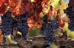 vigne_3